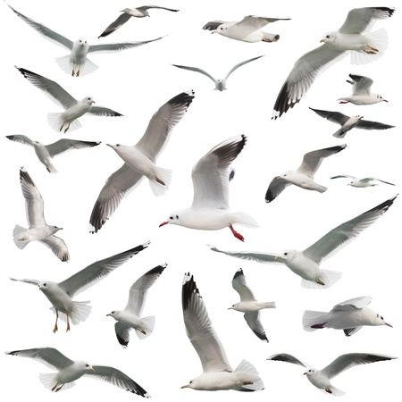 wingspread: birds set isolated on white Stock Photo