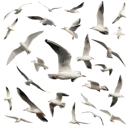 wingspread: birds isolated on white Stock Photo