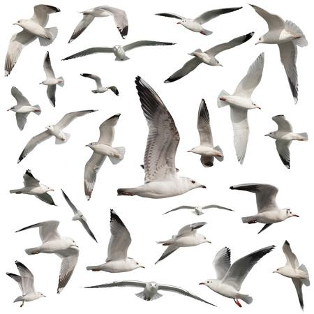 mouettes: oiseaux isol� sur blanc