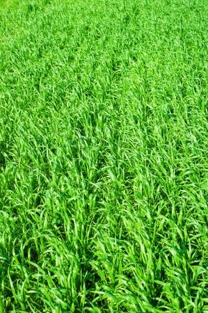beautiful landscape. green field  photo