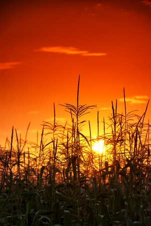 photo of sunset in cornfield Standard-Bild