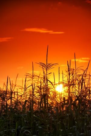 photo of sunset in cornfield Stock Photo