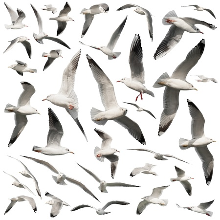 wingspread: Seagull birds set isolated on white Stock Photo