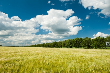 Sunny wheat field and blue sky photo