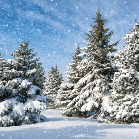 fir trees covered by snow photo