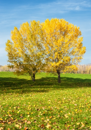 bright yellow trees in autumn forest photo