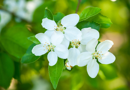 white cherry flowers in spring photo