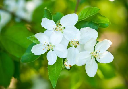 apple blossom: white cherry flowers in spring