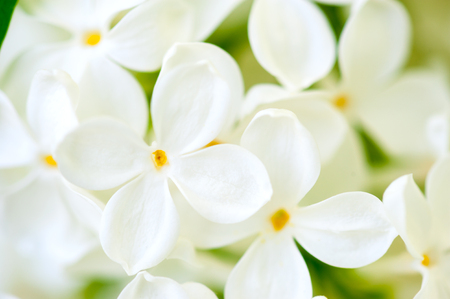 white lilac flowers closeup photo