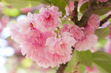 flower on tree. sakura. cherry blossom in spring photo