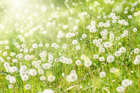 sunny meadow with dandelions photo