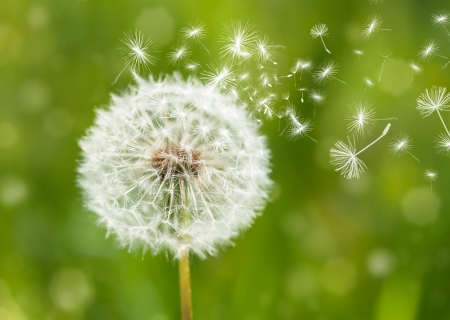 dandelion wind: dandelion with flying seeds Stock Photo