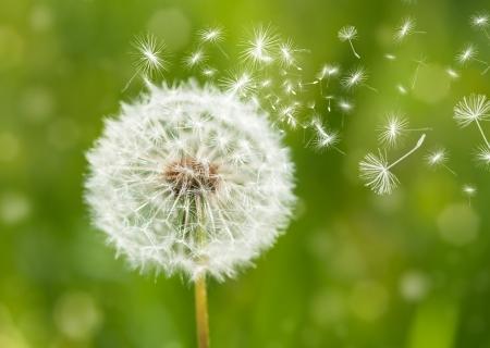 dandelion with flying seeds Foto de archivo