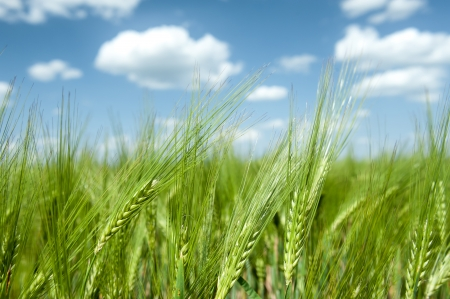 green wheat field and blue sky spring landscape photo