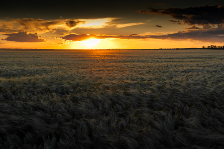 wheat field sunset photo
