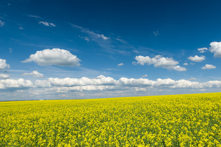 Yellow rapeseed field and blue sky, a beautiful spring landscape photo