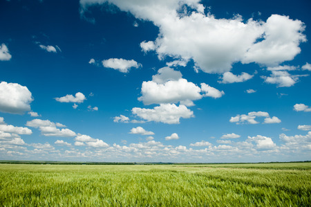 blue sky and fields: green wheat field and blue sky spring landscape