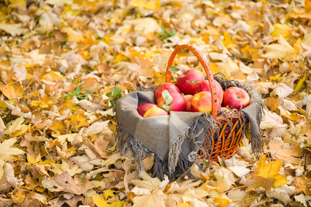 yellow apple: basket with apples on autumn leaves in the forest