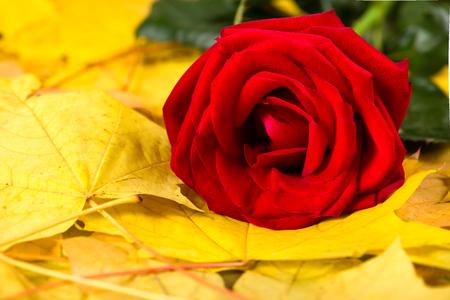 rosas amarillas: rosa roja en las hojas de otoño Foto de archivo