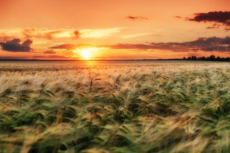 evening wheat field. summer landscape photo