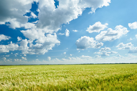 blue and white: wheat field and blue sky summer landscape