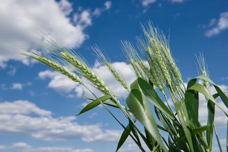 corn field: wheat field and blue sky summer landscape