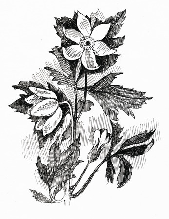pencil drawings: flower sketch on white background Stock Photo