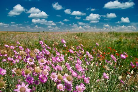 afield: summer landscape with pink wildflowers and blue sky