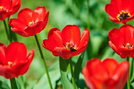 red tulip: red flower tulip closeup in field