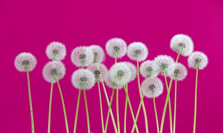 dandelion flower on pink color background, many closeup object Stock Photo