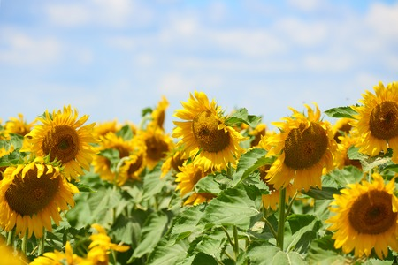 zonnebloem veld close-up zomer landschap