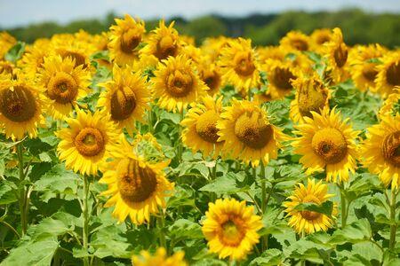 Zonnebloemveld mooi zomerlandschap