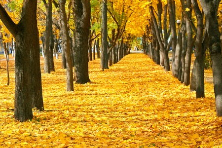 city park at autumn season, trees in a row with fallen yellow leaves, bright beautiful landscape at sunny day