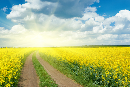 Road in yellow flower field, beautiful spring landscape