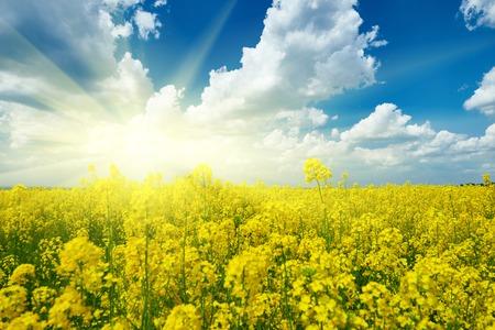 Yellow flower field, beautiful spring landscape