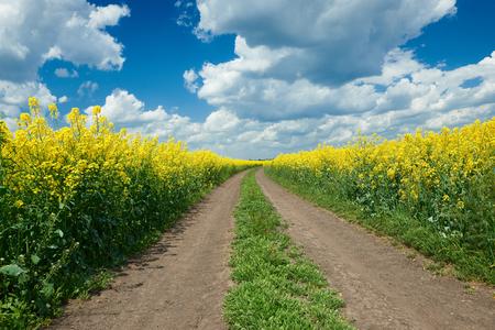 Road in yellow flower field, beautiful spring landscape