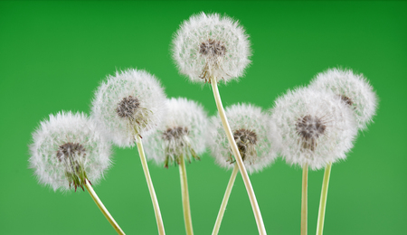 Dandelion on blank green background, beautiful flower, nature and spring concept. Stock Photo