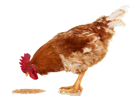 Rooster on white background, isolated object, live chicken, one closeup farm animal Stock Photo