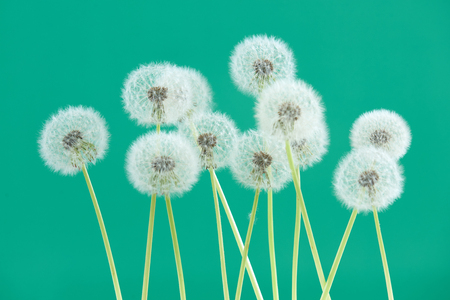 Dandelion flower on green color background, group objects on blank space backdrop, nature and spring season concept. Stock Photo