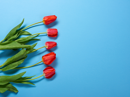 natural tulips flowers on blue background - love and holiday concept