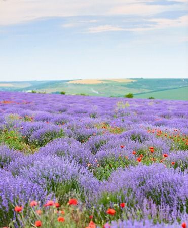 lavender field with poppy flowers, beautiful summer landscape Archivio Fotografico