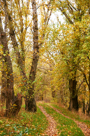beautiful autumn landscape, yellow leaves and ground road in forest