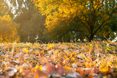 autumn leaf in the grass closeup, beautiful autumn forest, bright sunlight at sunset 스톡 콘텐츠