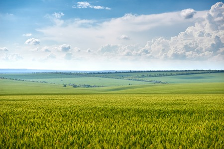spring landscape - agricultural field with young ears of wheat, green plants and beautiful sky Фото со стока