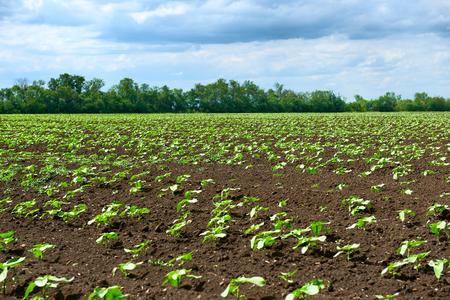 Paisaje primaveral: campo agrícola con brotes jóvenes, plantas verdes sobre suelo negro y un hermoso cielo Foto de archivo