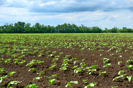 spring landscape - agricultural field with young sprouts, green plants on black soil and beautiful sky Stockfoto