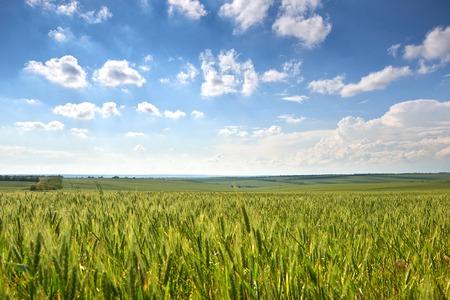 lentelandschap - landbouwgebied met jonge korenaren, groene planten en prachtige lucht Stockfoto
