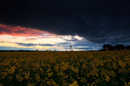 Timelapse of rapeseed flowers at evening. Beautiful sunset with dark blue sky, bright sunlight and clouds.