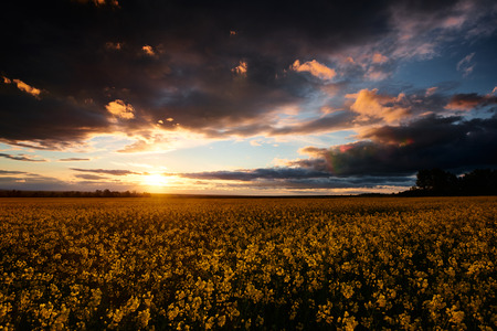 Rapeseed flowers at evening. Beautiful sunset with dark blue sky, bright sunlight and clouds.