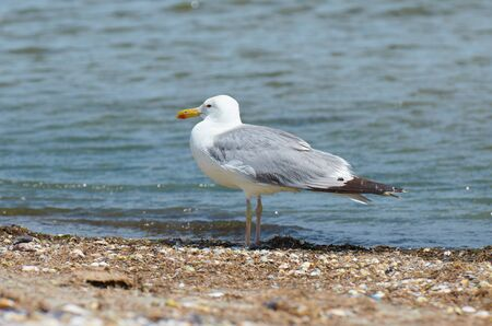 sea gull - closeup of one bird stands on wild beach near sea Stock fotó
